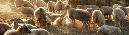 Obilje dobrega v ovčjem mleku in sirue]